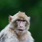 Barbary macaques  by Elaine123