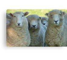 School Reunion! - Sheep - NZ - Southland Canvas Print