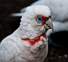 Long-Billed Corella by Tom Newman