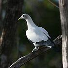 Pied Imperial Pigeon by Anna Koetz
