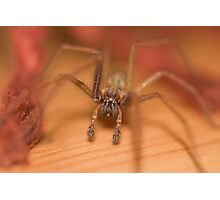 House spider Photographic Print
