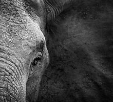 Elephant beauty by Clive  Wilson