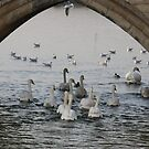 .......Swans a swimming by IngridSonja
