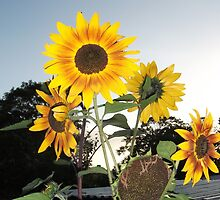 Sunflowers At Sunset by Samag