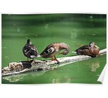 Ducks resting Poster