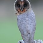 Black Barn Owl by barnowlcentre