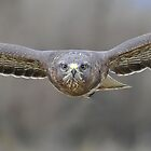 Buzzard by barnowlcentre