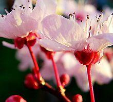 Plum Blossoms by Rinaldo Di Battista