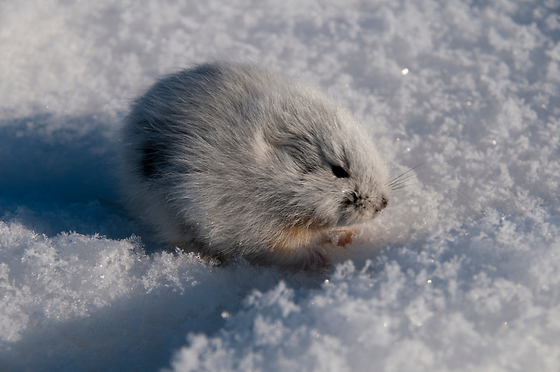 An Arctic Lemming in the Spring by atlasthetitan