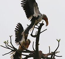 Hornbill Courtship by naturalnomad