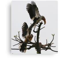 Hornbill Courtship Canvas Print