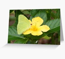 Clouded Sulfur Greeting Card