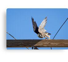Juvenile Peregrine Falcon Canvas Print