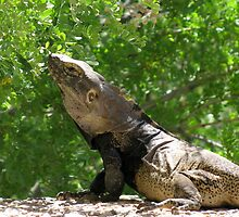 Sonoran Spiny-tailed Iguana ~ 3 (Male) by Kimberly Chadwick