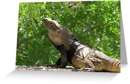 Sonoran Spiny-tailed Iguana ~ 3 (Male) by Kimberly Chadwick