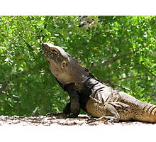 Sonoran Spiny-tailed Iguana ~ 3 (Male) Photographic Print