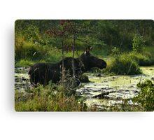 Cow Moose In Bog Canvas Print
