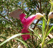 Butterfly ~ Gray Hairstreak (Male) by Kimberly Chadwick