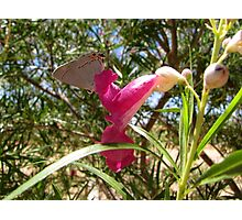 Butterfly ~ Gray Hairstreak (Male) Photographic Print