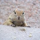 """Please feed me"" Ground squirrel  by Sherry Pundt"