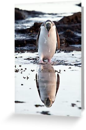Downcast Penguin - New Zealand by Kimball Chen