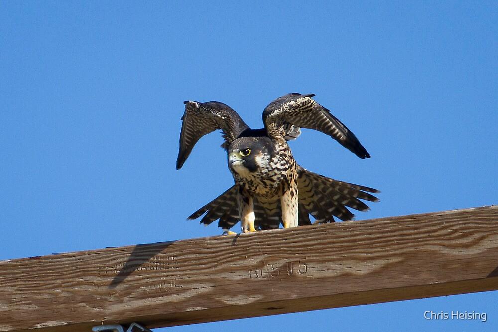 Juvenile Peregrine Falcon by Chris Heising