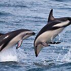 Dusky Dolphin by Kimball Chen
