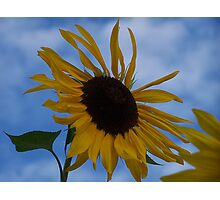 Sunflower (original) Photographic Print