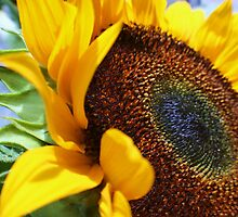 Sunflower by laurie13