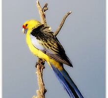 Yellow Rosella by dozzam