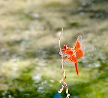 The Orange Dragonfly by Spiiral