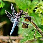 Odonata by Lanis Rossi
