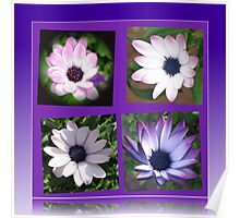 Beautiful Dreamers -  Cape Daisy Collage Poster