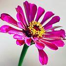 Pink by Susie Wieberg