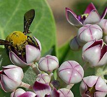 Canary Carpenter Bee  by David Clark