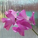 sweet pea by emanon