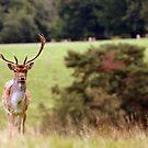 Deer at Petworth #2 by Charlotte Jarvis