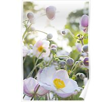 Anemone - pink / white flowers in sunlight  Poster