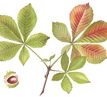 Horse Chestnut leaves and conker by Maureen Sparling