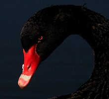 The Black Swan by snapdecisions
