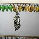 Butterfly and chrysalis by Catherine Ames