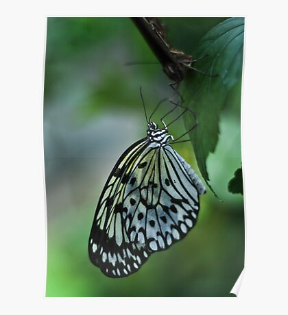 Glasswing Butterfly Poster