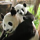 Panda baby and mother by Catherine Ames