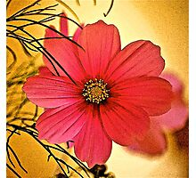 Cosmea Flower Photographic Print