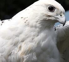 Gyrfalcon (Hybrid) by Paul Bettison