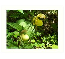 Wildflower, Lady's Slipper, Indian Moccasin Flower Art Print