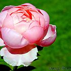 New Pink Rose by jerryfrencho