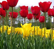Tall Tulips by LinneaJean