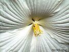White Hibiscus by Marcia Rubin
