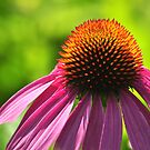 Bright Coneflower by Teresa Young